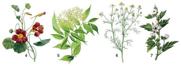 Nasturcja 4. 5. 6. Rumianek Sambucus nigra 7. prawoślaz lekarski