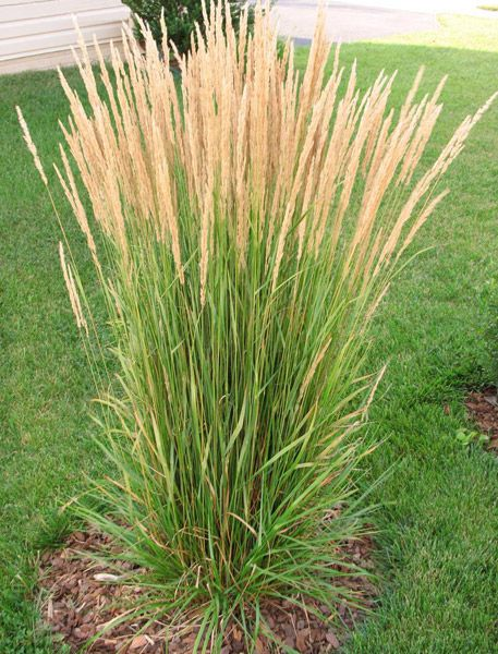 25 best ideas about ornamental grasses for shade on pinterest grasses for shade the sun. Black Bedroom Furniture Sets. Home Design Ideas