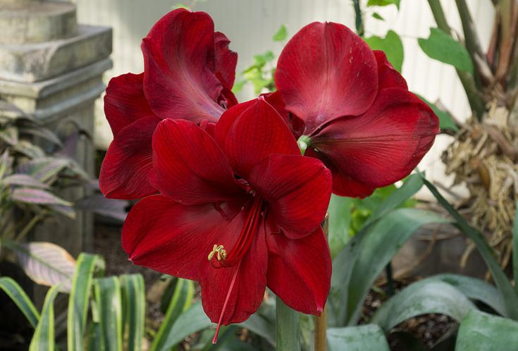 flower pictures - amaryllis red | Christmas Red Amaryllis Flowers Photograph