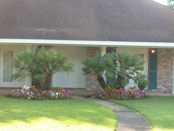 European Fan Palms placed on entryway to a beautifully landscaped home. They added beautiful flowers around the European Fan Palm mounds. Looks absolutely beautiful! Visit Real Palm Trees for more info!