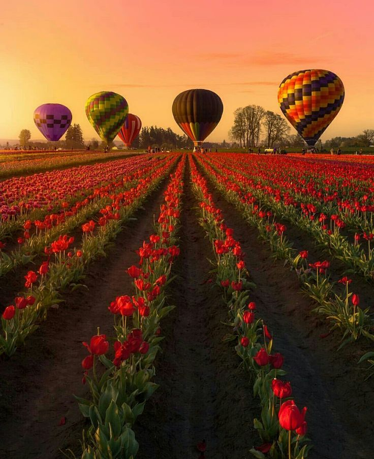 The Wooden Shoe Tulip Festival in Woodburn, Oregon, United States.  Photo by…