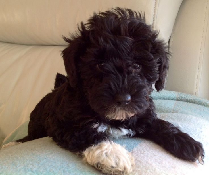 1000 Ideas About Hypoallergenic Puppies On Pinterest