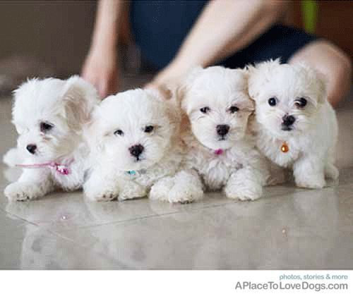 Brother and Sister Maltese Puppies