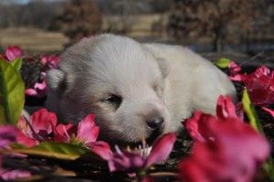 Riley! Baby Pomsky's!! White Pomsky's puppies!! I seriously love these Breeders they are so great to work with and they currently have 6 Pomsky's! Everyone should check out Shoal Creek Puppies!