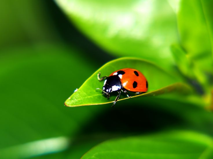 Your state's insect might just be this pretty ladybug!