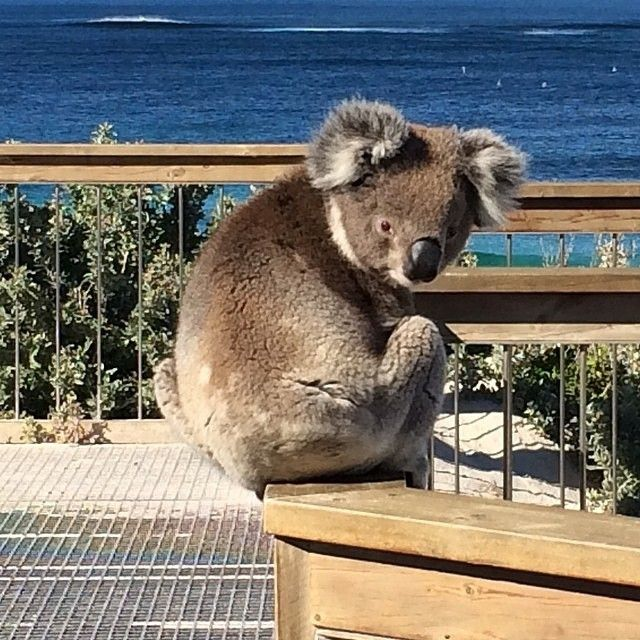 """""""Don't mind me...just checking out the surf"""". This surprise visitor to Seal Bay on #KangarooIsland shocked quite a few visitors on the weekend. It's extremely rare for a #koala to be seen on this part of the island, in fact no-one seems to recall it ever happening before. Seal Bay is well known for its resident colony of Australian Sea Lions, and we're guessing this koala just wanted a sea change! Photo: @simplybea in @southaustralia"""