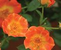 Oso Easy® Paprika - Rose - Rosa sp. | Proven Winners