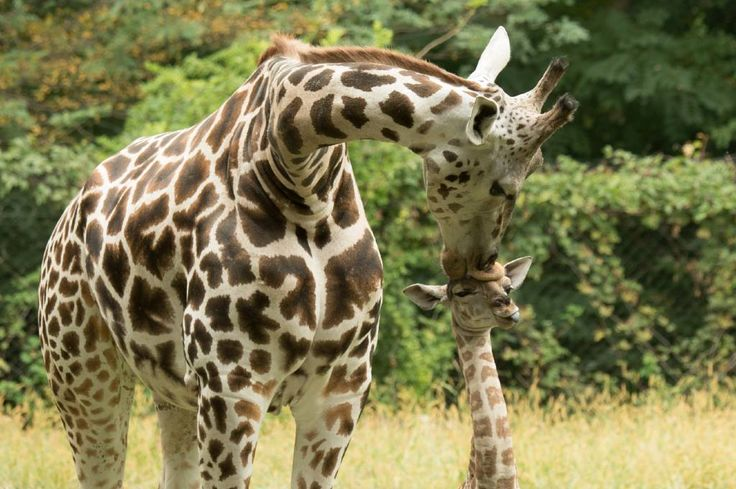 A picture is worth a thousand words, but this one has left us speechless. Staff photographer Julie Larsen Maher snapped this moment between a giraffe mother and calf on exhibit at African Plains – comment with your best caption below. Bronx Zoo Coupons http://www.pinterest.com/kolyaCoupons/bronx-zoo-coupons/