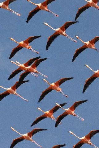 Greater Flamingo in Bonaire Island, Netherlands