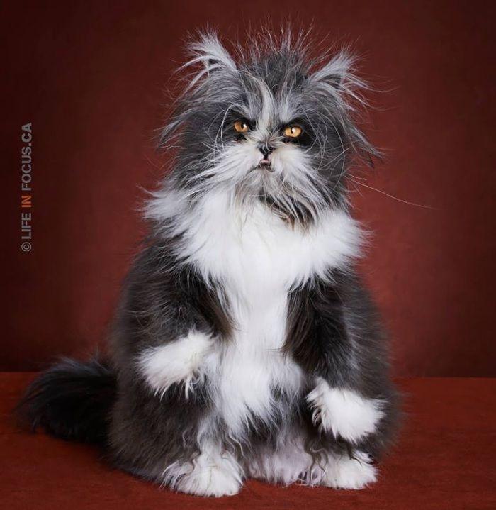Gato  arrepiado