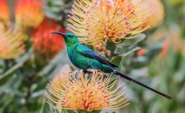 Male malachite sunbird, South Africa