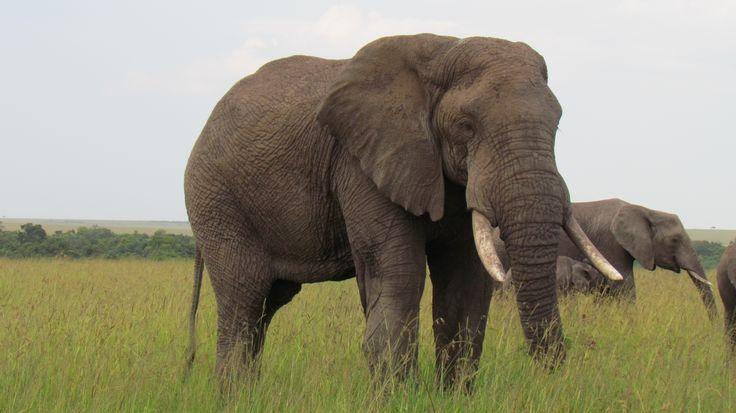 Elephant- an Amazing animal. The largest land mammal