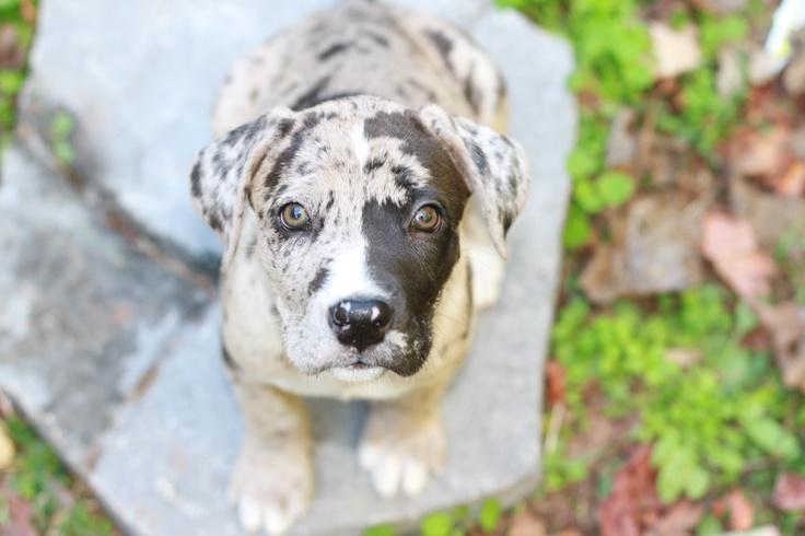 Great Dane/Boxer Puppy