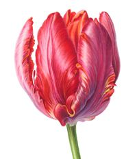 Look at the detail, color, grace and sheen on this Rococo Tulip by Jenny Phillips.