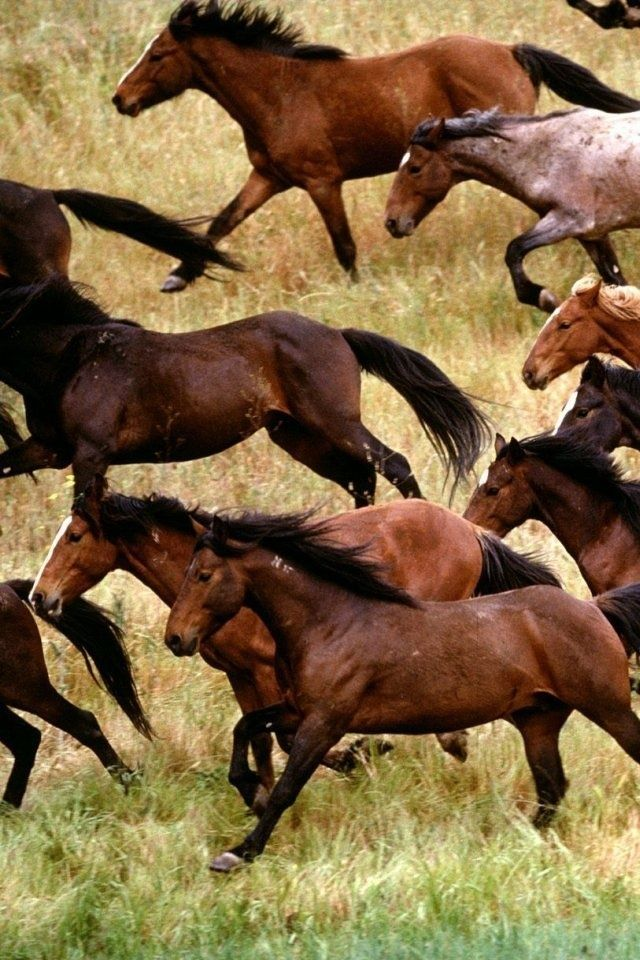 Wild Mustang Horses Herds | Herd of Wild Cantering Mustangs Across the Plains. | Horses
