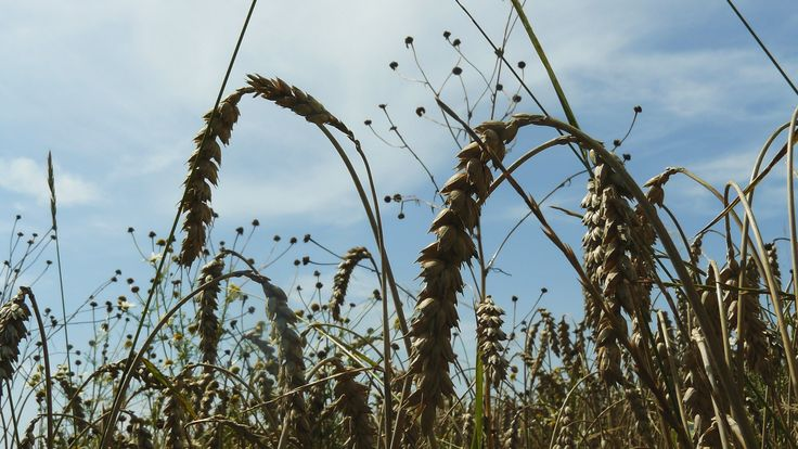 Wheat feald, Jetetice village; Soouthern Czech