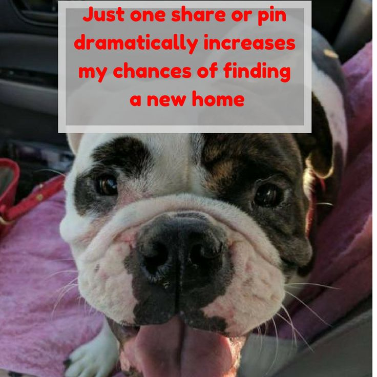 Hi, my name is Annabelle! I'm a English Bulldog Dog  #dog #dogs #dogsofinstagram #vacation #dogsgram #instadog #dedication #friend #doglover #ilovemydog #dogoftheday #adoption #adoptapet #petmehome #pets