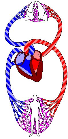 Basic cardiac anatomy and physiology website. Towards the very bottom there is a shockwave animation site to check out.