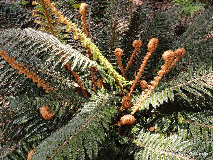 T.E.R:R.A.I.N - Taranaki Educational Resource: Research, Analysis and Information Network - Prickly Sheild fern (Polystichum vestitum)