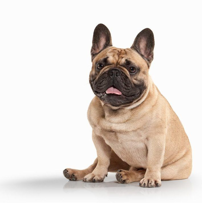 French Bulldog Puppies For Sale Recognized For Their Large Bat Like Ears The French Bulldog Resembles A Cha Bully Breeds Dogs Small Dog Breeds French Bulldog