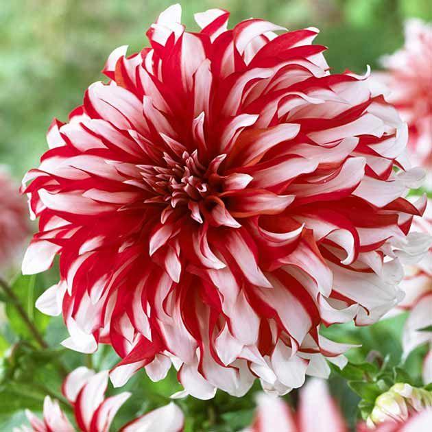 Best dahlia images on pinterest flower