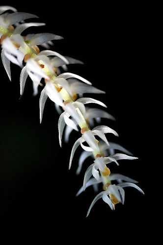 Dendrochilum glumaceum by nobuflickr, via Flickr