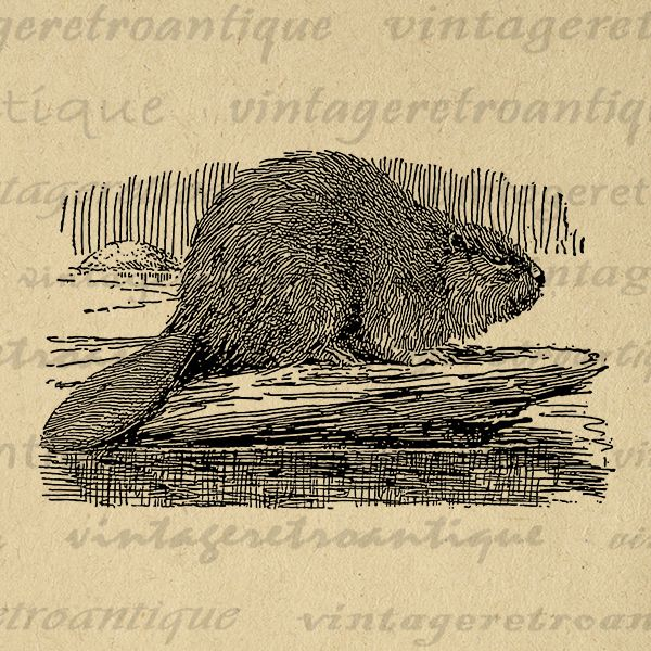 Digital Graphic Canadian Beaver Image Illustration Download Printable Vintage Clip Art Jpg Png Eps Print 300dpi No.3050 @ vintageretroantique.com #DigitalArt #Printable #Art #VintageRetroAntique #Digital #Clipart #Download