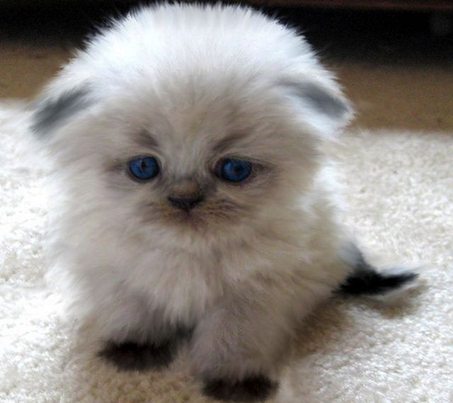Scottish Fold Kitten - Adorable with a Capital A!
