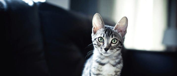 Coccidia In Cats And Kittens What It Is And How To Treat It Cats Owning A Cat Kittens
