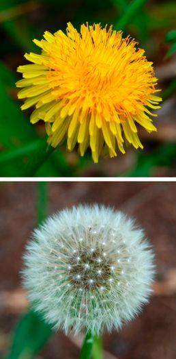 Pampeliška Smetanka lékařska Pampeliška  (Taraxacum officinale) je nenáročná na půdu a má velmi dužinaté listy.