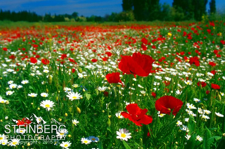 A field of poppies (part of the Papaveraceae family) brightens the spring in southern Provence near Puyloubier, east of Aix-en-Provence, France.