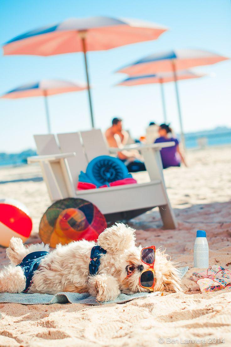 The Frumpy Dog, the adorable shih tzu soaking in the sun at the beach, in her floral bikini. TheFrumpyDog.com