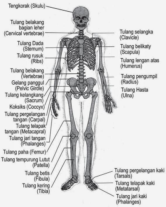 Fungsi Tulang Jari Kaki : fungsi, tulang