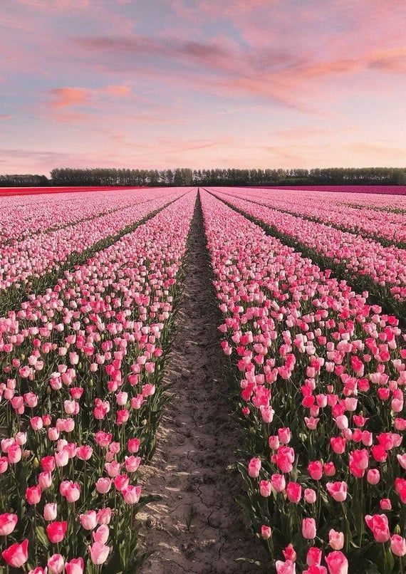 Photography Pink Field Of Roses Designer Inspired Home Decor