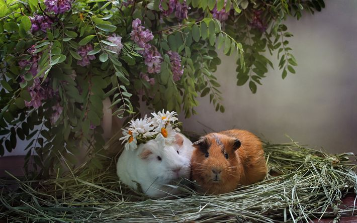 Download wallpapers Guinea pigs, cute animals, pair of guinea pigs, pets, lilacs