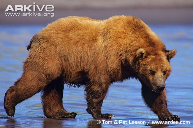 bear | Brown bear videos, photos and facts - Ursus arctos - ARKive