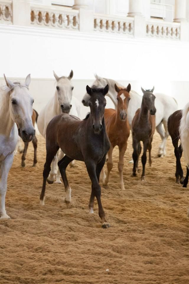 """""""Piber meets Vienna"""" is a special annual event, when the young foals visit The Spanish Riding School in Vienna"""