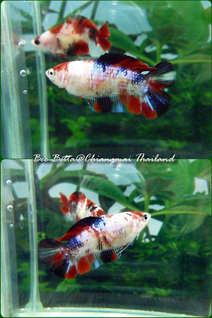 17 best images about koi goldfish bettas on pinterest for Female koi fish