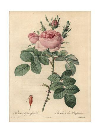 De rozen van Redouté zijn nog steeds verkrijgbaar als poster. Bloemillustraties (Kunst) Poster bij AllPosters.nl