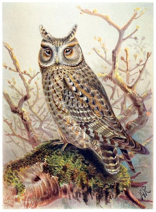 Scops owl john gerrard keulemans from coloured figures of the birds of the british