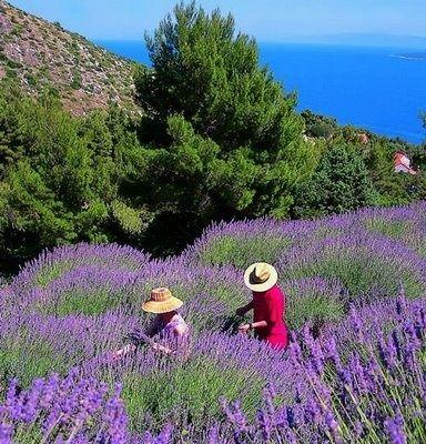 Lavender Fields of Hvar, Croatia