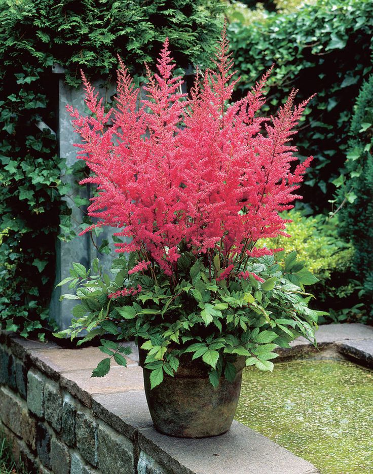 112 Best Images About Gf Astilbe Common Name False