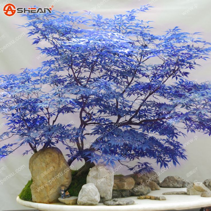 Rare blue maple seeds maple seeds bonsai tree plants for Rare bonsai species
