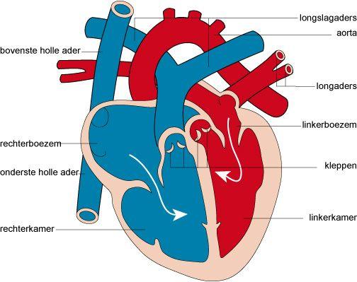 Het Hart En De Bloedsomloop Beantwoord De Vragen Op Je Invulblad