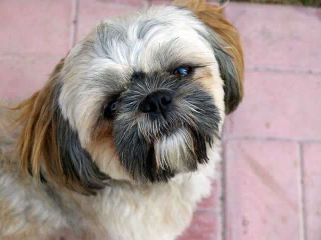 shih tzu purebred our little guy henry a purebred shih tzu he s the best 6494