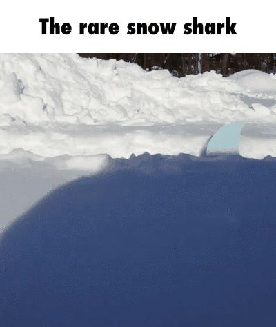 The rare snow shark GIF