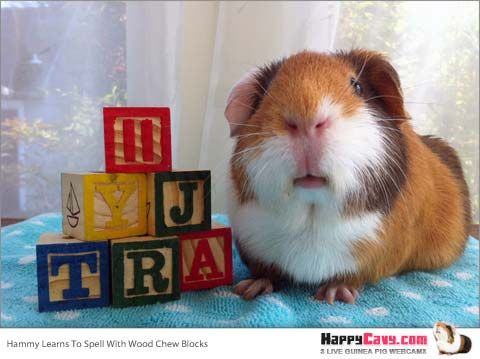 Cheap & Almost-Free Guinea Pigs Toys Your Cavy Will Love