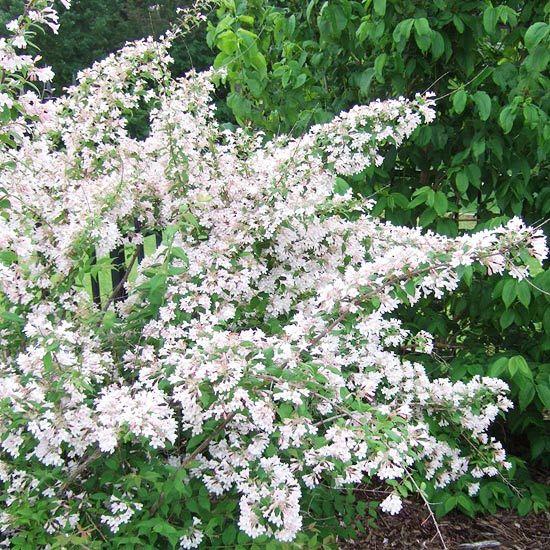 Tall flowering bushes full sun bing images for Garden trees b q