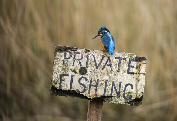 A male kingfisher on a 'private fishing' sign post. #Scotland
