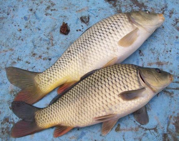 Ловля карася летом: снасти, прикормки и приманки - Самоделки для рыбалки своими руками